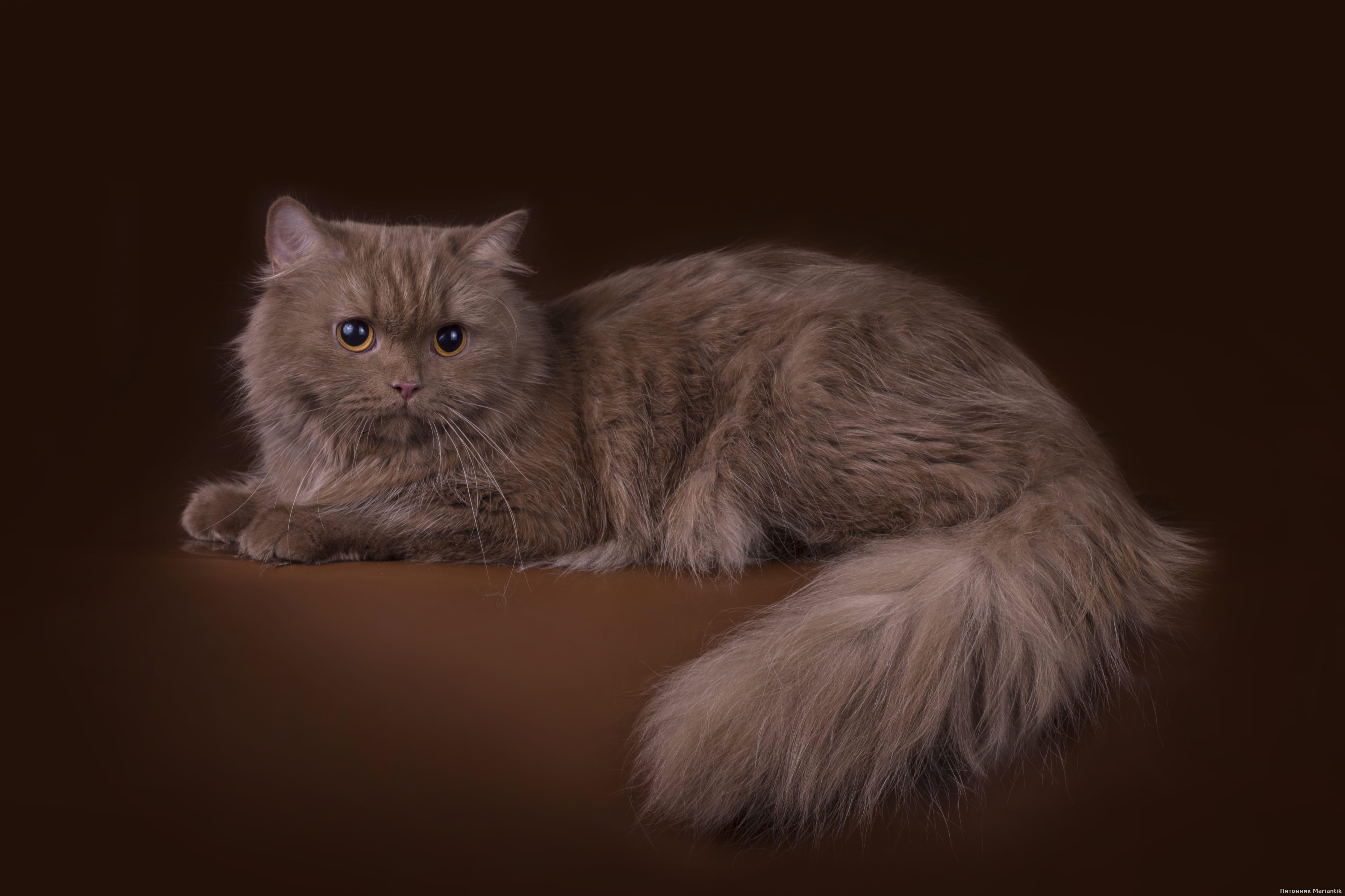 британская длинношерстная кошка окраса циннамон питомник Mariantik