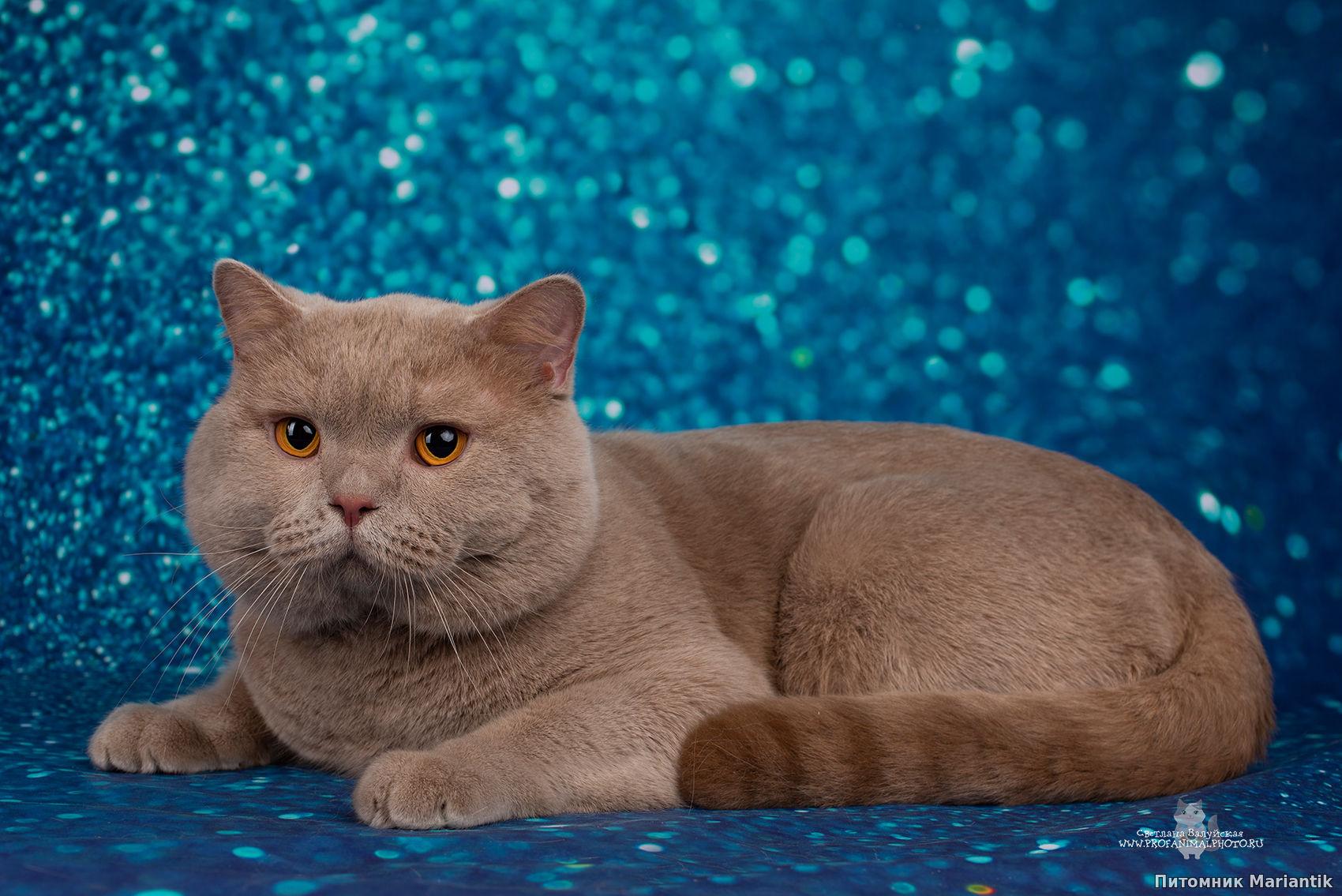 британский короткошерстный кот окраса фавн питомник Mariantik